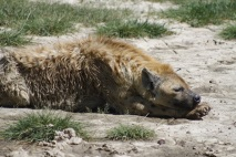 Sleepy Hyena